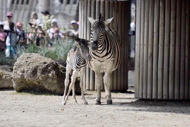 Das Zebrafohlen mit Mutter Wendy in Schönbrunn