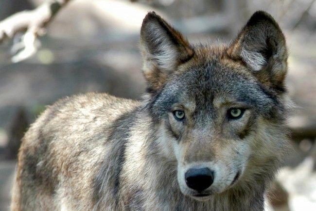 Der Wolf kehrt zurück: Der WWF Österreich fordert von der Politik Finanzierungen für den herdenschutz und eine funktionierende Schadesabwicklung.