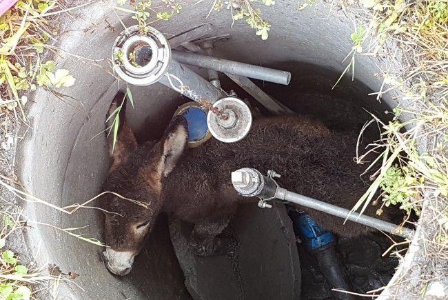 Ein junger Esel wurde am Samstag in einem Schacht eingeklemmt.