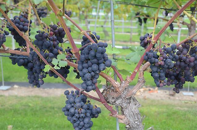 Der Obst- und Gartenbauverein lädt zum Rebenschnittkurs.