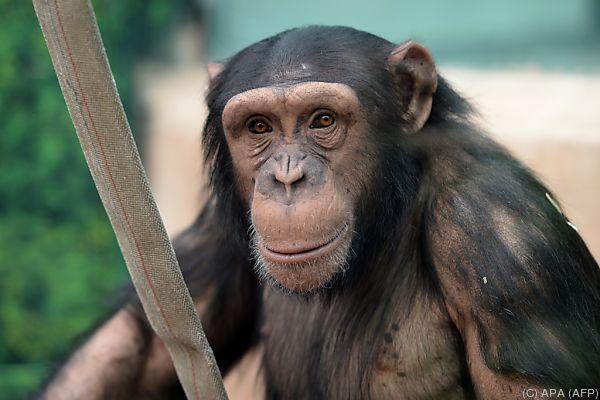 Schimpansen sind sehr schlau