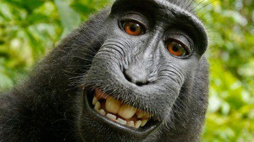 Von Affe verklagt: Dieses Selfie wird Fotografen zum Verhängnis