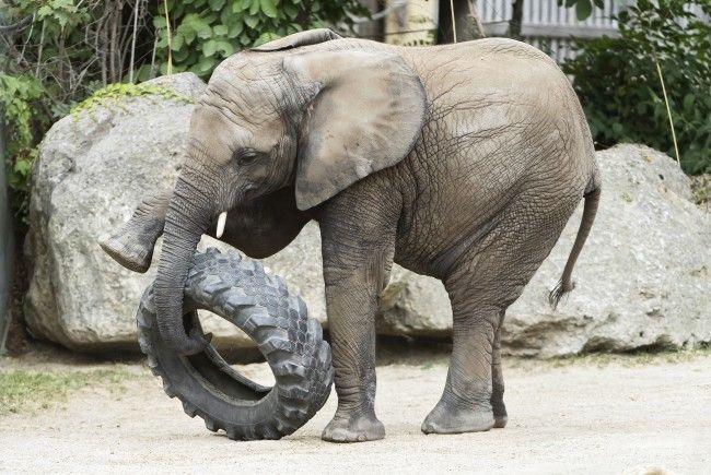 """""""Happy Birthday!"""" heißt es für Elefantin Iqhwa"""