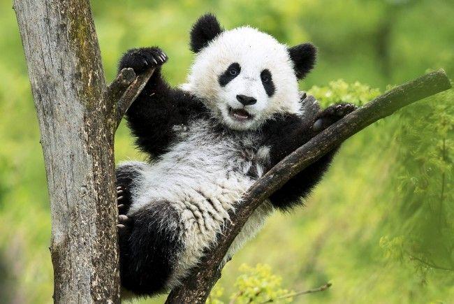 Die kleinen Pandas sind die absoluten Lieblinge der Besucher in Schönbrunn