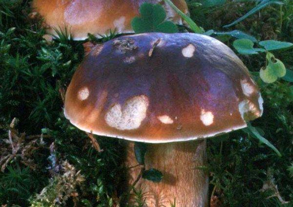 Pilze sammeln: aber richtig
