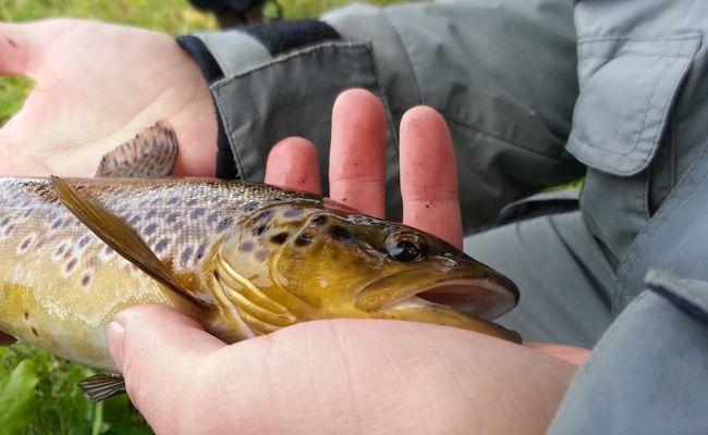 Durch die anhaltende Trockenheit und Hitze nimmt die Gefahr für Fischsterben zu.