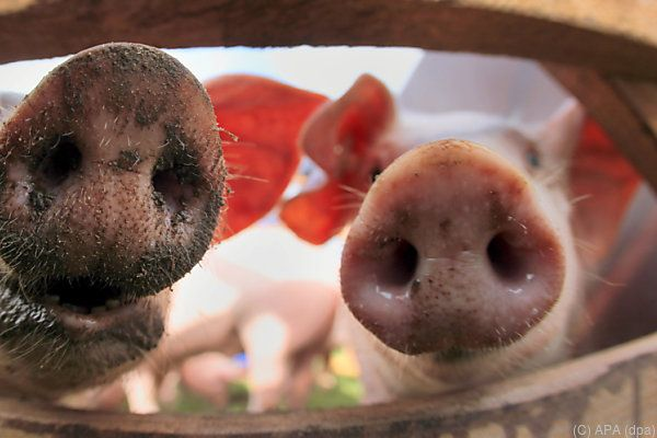 NGO kritisiert Haltungsbedingungen bei Schweinen